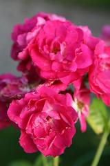 IMG_0082 John Cabot rose (HAKANU) Tags: red roses flower rose garden bush blossom sweden smland shrub rosegarden rosebush johncabot rosarium
