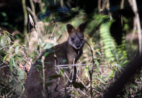 Wild Wallaby by dlerps, on Flickr