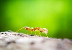 Orange ants (auimeesri) Tags: red orange detail macro tree green nature animal horizontal bug insect leaf close nest background wildlife ant leg working together ants worker weaver build teamwork arthropod