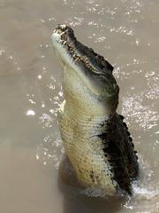 (LaCameraObscura) Tags: canon river eos oz nt wildlife au australia 7d adelaide croc l northern 70200 f28 ef territory croccodrille
