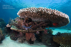 8H3A6228s (Wei on the way) Tags: ocean coral canon indonesia nationalpark underwater wideangle scuba diving fisheye 5d nexus komodo strobes liveaboard aggressor tablecoral