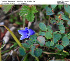 Common Harebell (NathanaelBC) Tags: blue usa flower alaska america blueberry tundra thompsonpass