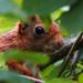 DSCF0809 Red squirrel