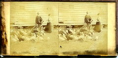 Feeding the Poultry (lhoracek) Tags: chickens farms foundphotos stereographs