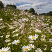 Blomsterenga har arter som er typiske for slåtteeng i Midt-Norge