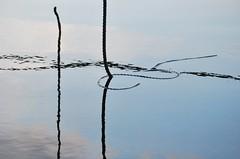 par_allelt / life lines (Scilla sinensis) Tags: reflection water pair parallel par ends fotosondag fs140921