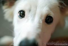 Augenblick (RICORUDEDUDE | Pixelfrosting) Tags: dog bordercollie dogportrait nikond3000 nikkor50mm118g