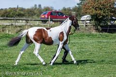 BQ__9922.jpg (brian.quinlan) Tags: england horses people animals capri unitedkingdom showing aspull athertonoldhallfarm lauraherrera september2014 westhoughtonridingclubshow
