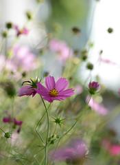 (Fransois) Tags: flowers fleurs bokeh cosmos platinumheartaward