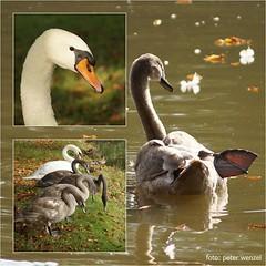 ..alt & jung! (peterphot) Tags: animals swans waterbirds schwne