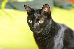 Casimir... (frankbehrens) Tags: cats cat chats chat gatos gato katze katzen kater kashmirthecat