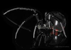 Happy Arachtober!! (zxgirl) Tags: animal animals bug spider spiders arachnid flash bugs blackwidow arachnids arthropods animalia arthropoda venomous arachnida arthropod onblack araneae latrodectusmactans latrodectus theridiidae cobwebspider dcr250 raynox cobwebspiders chelicerata araneomorphae img2027 chelicerate southernblackwidow entelegynes chelicerates arachtober sx30 arachtober2014