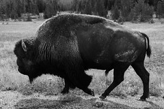 Buffalo Soldier (Photography_84) Tags: wildlife yellowstone bison