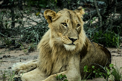 (marcelosilvadova) Tags: lion park kruger south africa lionpark krugernationalpark krugerpark earth green leon sudafrica verde tierra shindzelatentedcamp