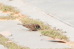 18 Feb 2017 Marina Barrage (CheeThong) Tags: birds eurasiantreesparrow marinabarrage passermontanus singapore sparrowswagtailspipitsmuniasandweavers