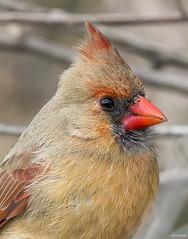 Cardinal (swmartz) Tags: birds bird outdoors nikon newjersey nature wildlife cardinal