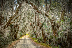 Moss to the Max (MichaelSOwens) Tags: hdr wildlife spanish moss tillandsia usneoides dirtroad drive live oaks grapevines southern savannahnwr