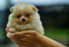 tea cup (sandilesmana28) Tags: pomeranian dog cute tea cup mini animal bokeh sony gm a7rii dof shallow 8514