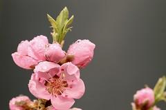 Welsh blossom (AngharadW) Tags: blossom pollen bud nectarine angharadw cymru caerdydd wales cardiff dof macro water rain droplet pink stamen green orange outdoors spiders web