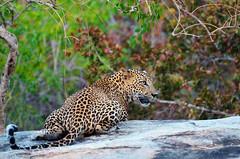 Leave me alone... (Dunstan Fernando) Tags: leopard srilankanleopard wildlife kotiya outdoor yala yalanp yalanationalpark srilanka srilankawildlife yalanpsrilanka dunstan nikon yalasafari pantheraparduskotiya endangered srilankastoppredator bigcat wildcat imageofsrilankanleopard imageleopard bornfreelivingfree