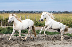 2016 Best Two Camargue Stallions (15) (maskirovka77) Tags: saintlaurentdaigouze languedocroussillonmidipyrén france languedocroussillonmidipyrénées fr stallion stallions createaway