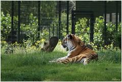 Siberische tijger (Panthera tigris altaica) (7D011421) (Hetwie) Tags: animals zoo tijger dieren safaripark beeksebergen dierentuin pantheratigristigris bengaalsetijger koningstijger
