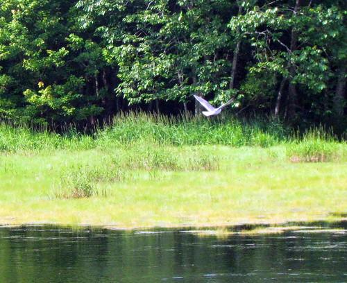 33 Black crowned heron Harkers Island NC 9806
