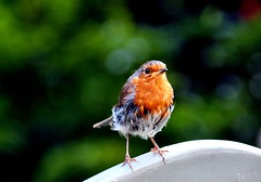 Robbie (Jim Roberts Gallery) Tags: cute nature birds garden wildlife gorgeous jim robins roberts favourite jrsgallery