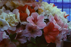 Satsuki (threepinner) Tags: summer flower mamiya japan 50mm hokkaido 北海道 日本 positive press f63 hokkaidou mikasa selfdeveloped 三笠 iso50 northernjapan sekor super23 北日本