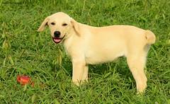 Female puppy. (Magic life gallery) Tags: puppy puppies cachorro cachorra perro perros dog dogs carlosbustamante carlosbustamanterestrepo fuchalesphotograpy chien carlosbustamantecartagena