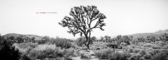 Joshua Tree National Park Panoramic (BurgersPhotos) Tags: california trees blackandwhite panorama canon landscapes nationalpark joshuatree panoramic 1740mm joshuatreenationalpark llens leefilters 06nd canon5dmkiii