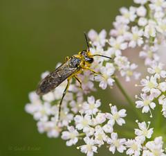 DSC_0880 (wolfie2k) Tags: macro insect nikon sp flue nikkor makro insekt f28 105mm d600 sawfly tenthredo bladveps