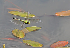 Female Emperor looking for a spot to oviposit (Roger H3) Tags: insect dragonfly emperor chaser odonata oviposit