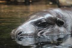 Hippopotamus Amphibius (Jo@net) Tags: wild swim zoo singapore asia hippo hippopotamus singapur singapura hipopotamo hipopotam