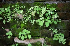 Little Maidenhair Ferns Growing on Ancient Mossy Brick Wall Lumbini Birthplace of Buddha Nepal (In Memoriam Ngaire Hart) Tags: travel flowers trees nepal people woman elephant fern men green art history fruit architecture rural children religious temple photography landscapes countryside town moss workers ancient women ruins asia waterlily cattle lotus vibrant buddha indian bricks religion families paintings flight cottage photojournalism monastery goats historical thatch nepalese prayerflags blooms textiles ferns waterpump livestock sari carvings sadhu deities holyman pilgrims offerings laborers dwelling frescoes beliefs roadconstruction holymen archaeologicalsite worshippers lumbini indianborder birthplaceofbuddha eriagn ngairelawson ngairehart