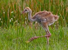 IMG_5111 (craig lefebvre) Tags: nature birds raw wildlife chicks sandhillcranes