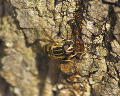 Helophilus Syrphid Fly Feeding on Maple Sap (milesizz) Tags: wisconsin milwaukee wi syrphidae diptera helophilus aschiza eristalinae syrphidflies helophilusfasciatus eristalini