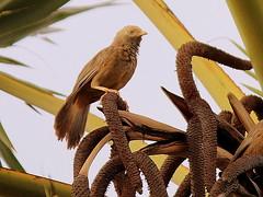 Common Babbler (Balaji.B ( 2 Million Views and Growing)) Tags: trees tree slr bird nature colors birds animals canon nationalpark madras birding insect