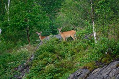 Buck And Doe (Dean Martin (Thirdeyepics)) Tags: wild ontario nature animal animals outdoors nikon scenery wildlife doe deer sudbury nikkor buck whitetail simplyred burwash simplyred4x4