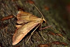 Endotricha flammealis (photo 175/365) (Ian Redding) Tags: uk fauna insect wildlife moth british invertebrate