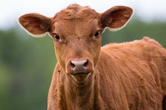 Curious calf (IchiroPhotography) Tags: cute fur cow farm beef stock meat hide steak curious steer agriculture calf bovine veal organinc
