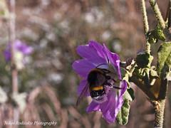 Althaea officinalis and bumble bee Bombus terrestris (roditakisnikos) Tags: fauna greek flora bees mallow marsh bumble common bombus cretan althaea terrestris officinalis episkopi pediados