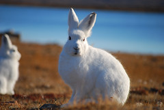 Artic hare (volcanoimage) Tags: flowers animals photography hare greenland polar artic thule