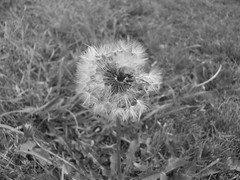 Black and White Dandelion (Stace_xoxo) Tags: blue summer sky blackandwhite brown white flower tree green field grass yellow bench leaf nikon sunny dandelion iso oxford coolpix daisy stick blade newbury greyscale l23