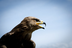 Predator (Merowinger-Photography) Tags: germany nikon eagle predator 70300mm d7000 merowingerphotography