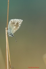 Chalkhill Blue, Hatch Hill, Somerset (predman69) Tags: light macro grass butterfly bokeh earlymorning somerset hills isolation dull isolate chalkhillblue polden poldens hatchhill