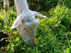 Bergerie de la petite ferme - La Ferté-Saint-Aubin - Loiret - Sologne - Centre - France. (vanaspati1) Tags: france nature de la milk farm centre lait paysage ferme mouton petite bergerie polaire brebis loiret sologne troupeau pâturage fertésaintaubin vanaspati1