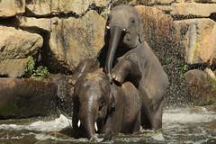 Olifanten Emmen - 2 - (K.Verhulst) Tags: elephants olifant emmen noorderdierenpark olifanten dierentuinemmen asiaticelephants aziatischeolifanten