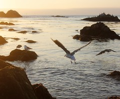 To be free (Therese Trinko) Tags: ocean california sunset bird beach flying monterey pacific seagull pacificgrove