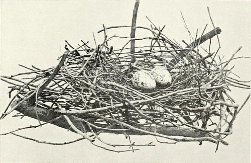 "Image from page 76 of ""Nests and eggs of birds found breeding in Australia and Tasmania"" (1901)"